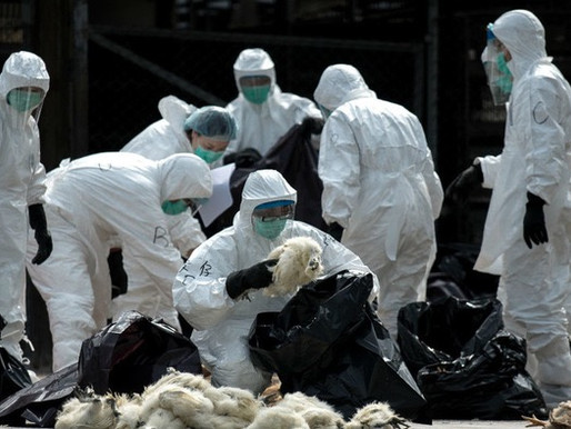 Influenza aviaria: in Cina il primo caso. Rischio per l'Italia