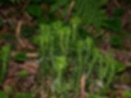 lycopodium serratum