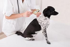 Twój pies ma problemy ze skórą? Przychodnia weterynaryjna Wojtania posiada oddział dermatologiczny.