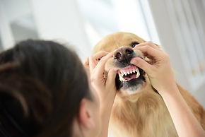 Przychodnia weterynaryjna Wojtania-wet dba o zęby swoich czworonożnych pacjentów.