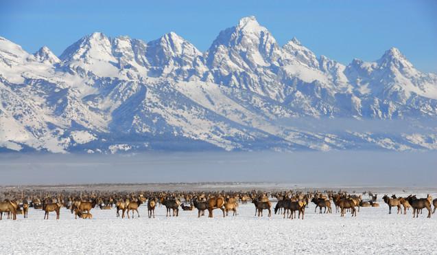 Elk National Reserve Jackson