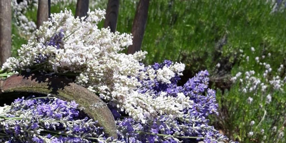 4th July Lavender Harvest