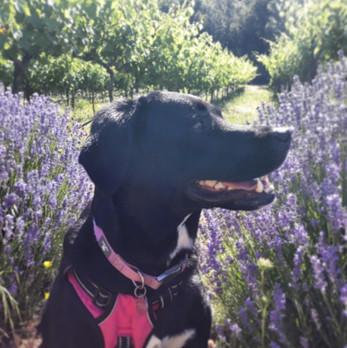Lavineyard Farms | Lavender Fields | California Winery | Vineyard
