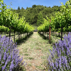 Lavineyard Farms   Lavender Fields   California Winery   Vineyard