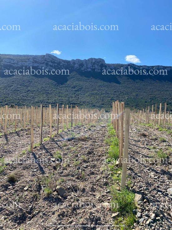 Piquets_acacia_vignes (2).jpg