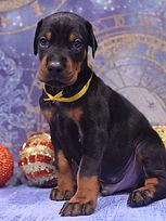 митомник щенок добермана