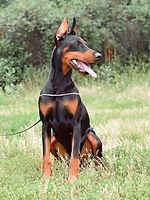 Купить щенка добермана в питомнике Адамант Спирит