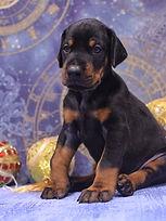 питомник щенок добермана