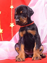 щенок добермана