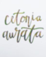 cetonia5.jpg