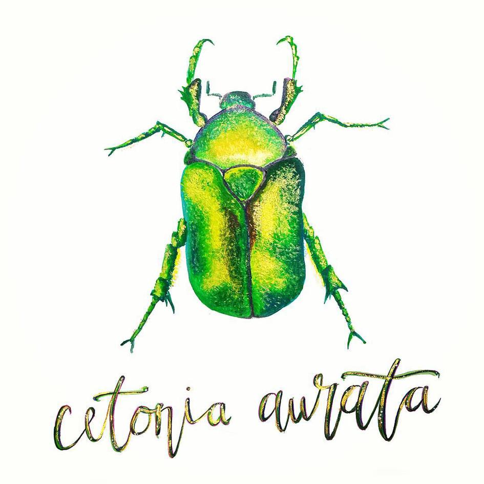 cetonia.jpg