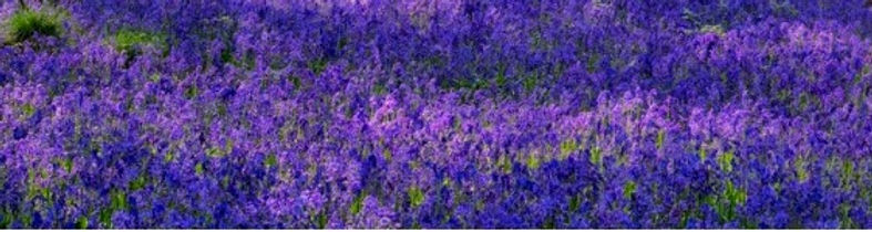 path-through-the-bluebells-picture-id682