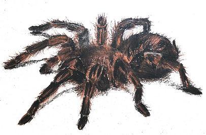 dessin d'une araignée mygale