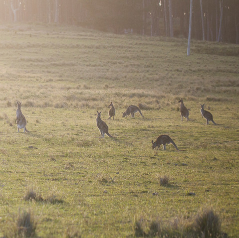 Kangaroos seen from Cuttagee Beach Cottages