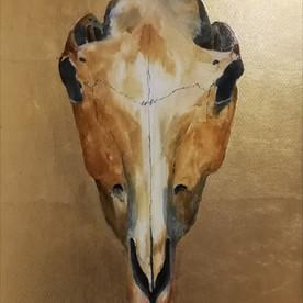 Equus caballus (Welsh Mountian Pony)