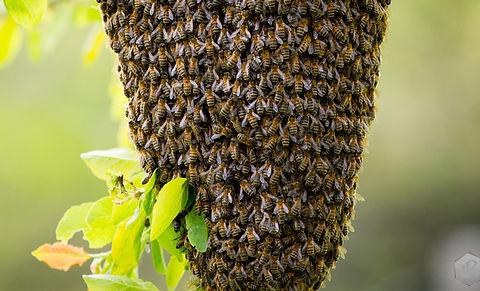 large_LABELABEILLE-grappe-abeille-essaim