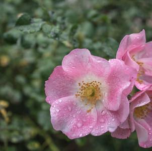 Pink Dew Drops