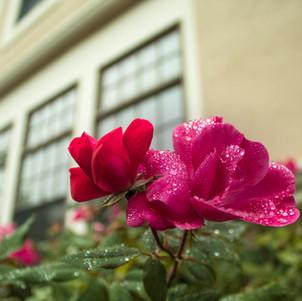 Nourished Rose