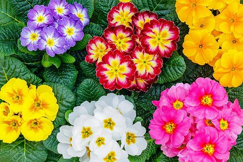 Winter Primula