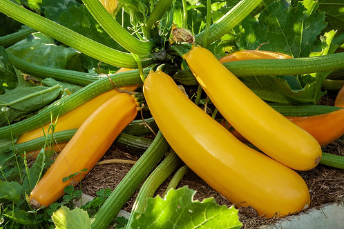 Yellow Courgette Plants x 5