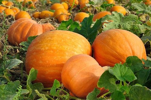 Giant Pumpkin Plants x 5