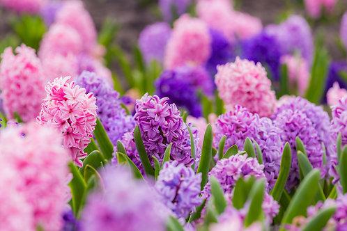 Hyacinths x 10