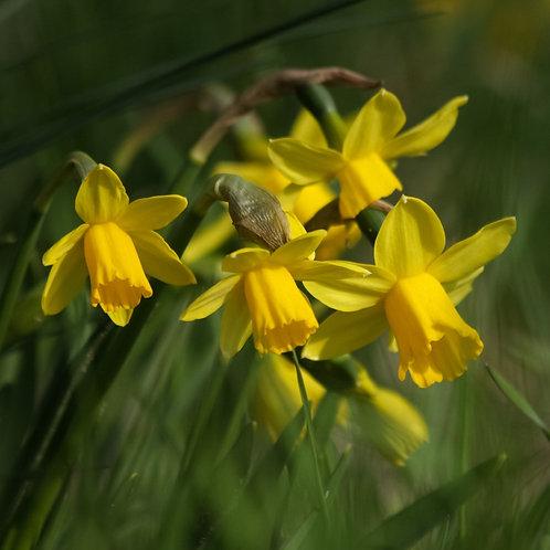 Miniature Daffodils x 25