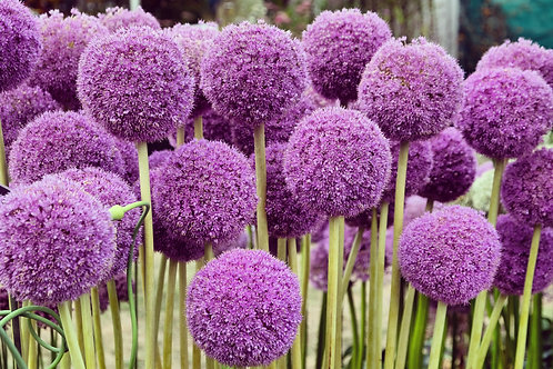 Allium x 1