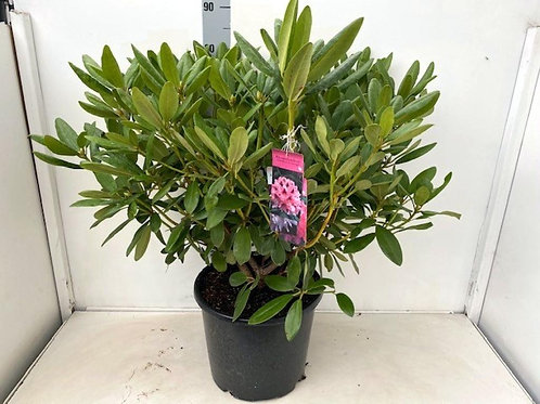 15L Potted Rhododendron