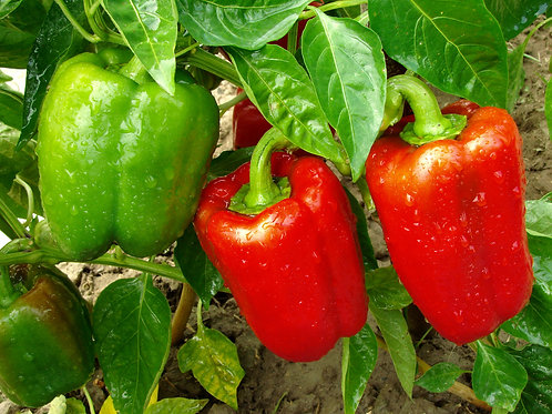 Sweet Pepper Plants x 5