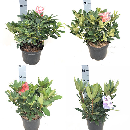 5L Potted Rhododendron