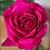 Thumbnail: David Austin Roses