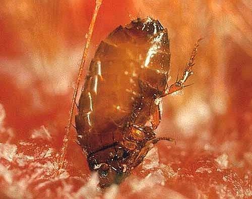 Ferocious Fleas?