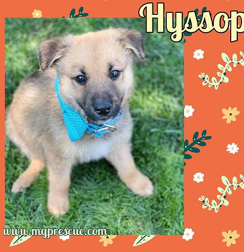 Hyssop.jpg