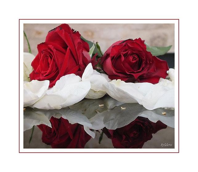 roses-rouges-sur-lit-de-petales-blancs-c