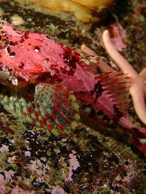 Scorpion fish.jpg