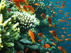 Anthias-on-a-coral+head