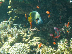 Anthia-in-amongst-coral