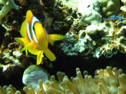 Anenome-Fish