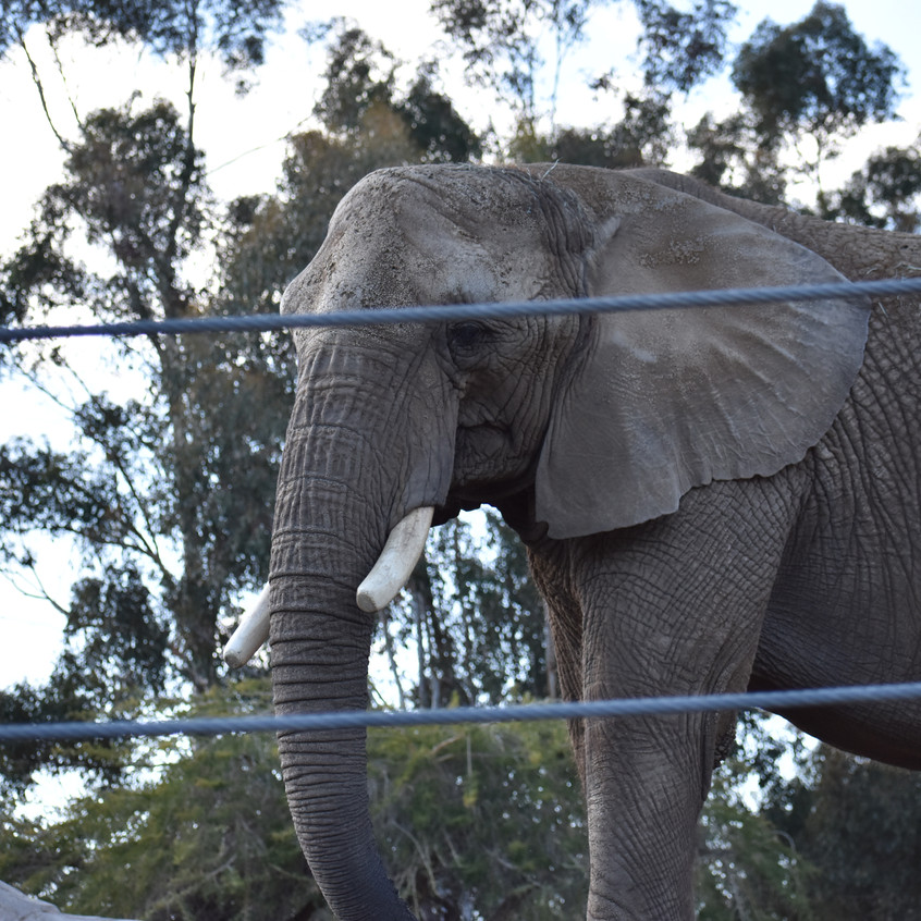 Elephant at San Diego Zoo you can buy as a print on wrapped canvas , metal print , framed print and much more click link above to see purchasing details