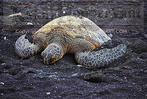 watermark turtle.jpg