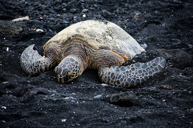 photography sea turtle black sand beach