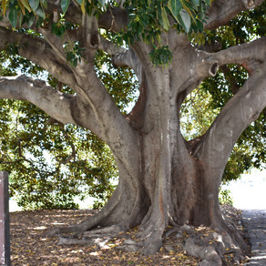 Tree Planted in 1874 In Ventura