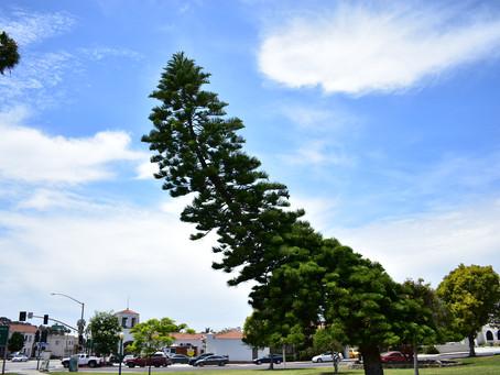 Crooked Tree in Ventura