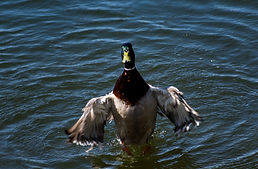 photography duck