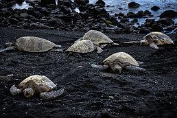 photography sea turtles on black sand beach
