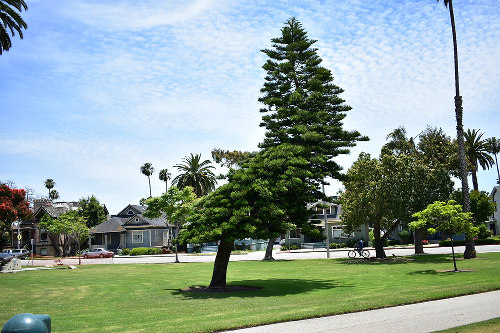 Crooked Tree Ventura