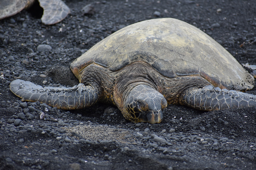 Turtle Black Sand beach Hawaii