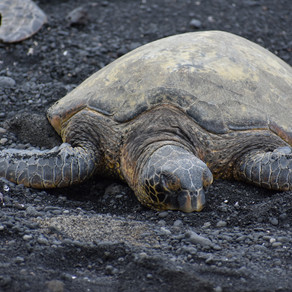 Turtles at Black Sand Beach Hawaii