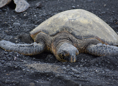 Turtles at Black Sand Beach Hawaii